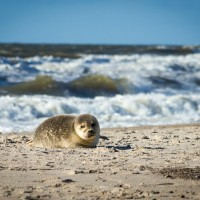 Robbe am Strand von Hvide Sande